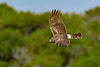 NorthernHarrier-EmeraldaMarsh-3-13-19-SJS-020