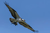 Osprey-Fish-LAWD-4-1-18-SJS-001