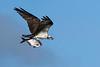 Osprey&Shad-EmeraldaMarsh-11-23-2020-sjs-001