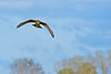NorthernHarrier-EmeraldaMarshFL-11-18-18-SJS-078