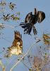ImmatureRed-TailedHawk-LAWD-11-10-18-SJS-001
