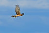 NorthernHarrier-EmeraldaMarshFL-11-18-18-SJS-099