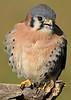AmericanKestrel-AvianReconditioningCenterFL-11-11-17-SJS-006