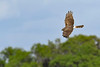 NorthernHarrier-EmeraldaMarsh-3-13-19-SJS-016
