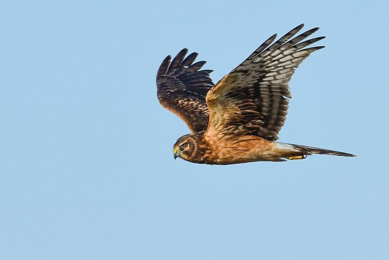 NorthernHarrier(female)-MerrittIslandNWR-12-6-19-SJS-017
