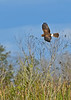 NorthernHarrier-EmeraldaMarshFL-11-18-18-SJS-023