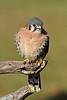 AmericanKestrel-AvianReconditioningCenterFL-11-11-17-SJS-007