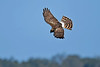 NorthernHarrier-LAWD-ApopkaFL-1-15-18-SJS-010