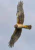 NorthernHarrier-EmeraldaMarsh-3-13-19-SJS-043