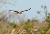 NorthernHarrier-EmeraldaMarsh-1-25-20-SJS-003