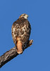 RedTailedHawk-PineMeadows-1-7-20-SJS-006