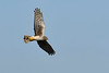 NorthernHarrier-LAWD-3-7-20-SJS-007