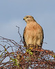 RedShoulderedHawk-PineMeadows-1-24-20-SJS-006