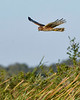 NorthernHarrier-EmeraldaMarsh-1-25-20-SJS-014