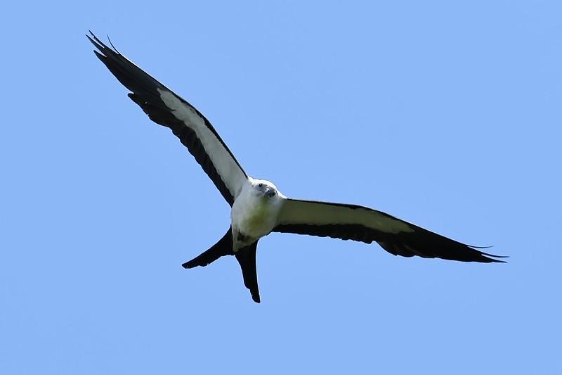 Swallow-tailedKite-BokTowerFL-6-10-18-SJS-001