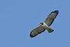 ShortTailedHawk-LakeYale-4-8-20-SJS-001