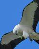 SwallowtailedKite-LAWD-7-24-20-sjs-016