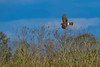 NorthernHarrier-EmeraldaMarshFL-11-18-18-SJS-020