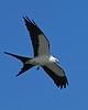 SwallowtailedKite-LAWD-7-24-20-sjs-012