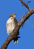 RedTailHawk-PineMeadows-1-2-2020-SJS-003
