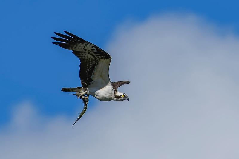 Osprey-NeedleFish-LAWD-11-23-18-SJS-04