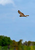 NorthernHarrier-EmeraldaMarsh-3-13-19-SJS-003