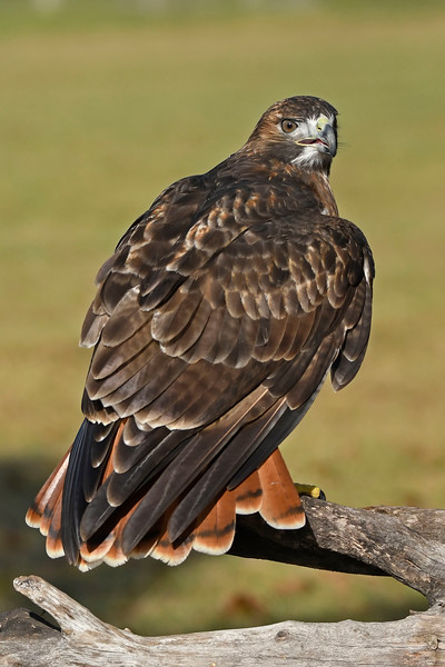 Red-TailHawk-AvianReconditioningCenterFL-11-11-17-SJS-002