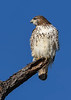 RedTailedHawk-PineMeadows-1-7-20-SJS-013
