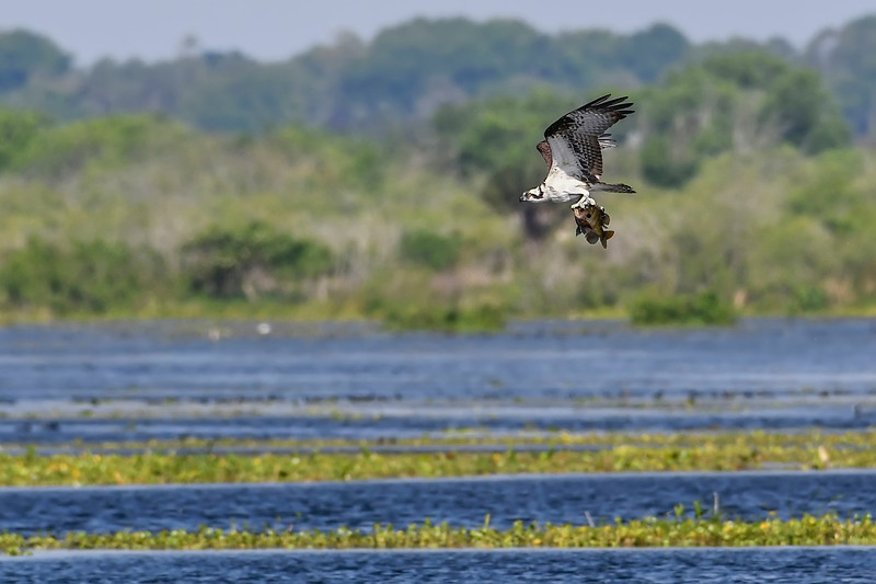 Osprey-EmeraldaMarsh-3-26-19-SJS-009