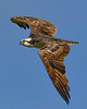 Osprey-EmeraldaMarsh-3-30-20-SJS-003