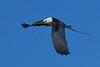 SwallowtailedKite-LAWD-7-24-20-sjs-008