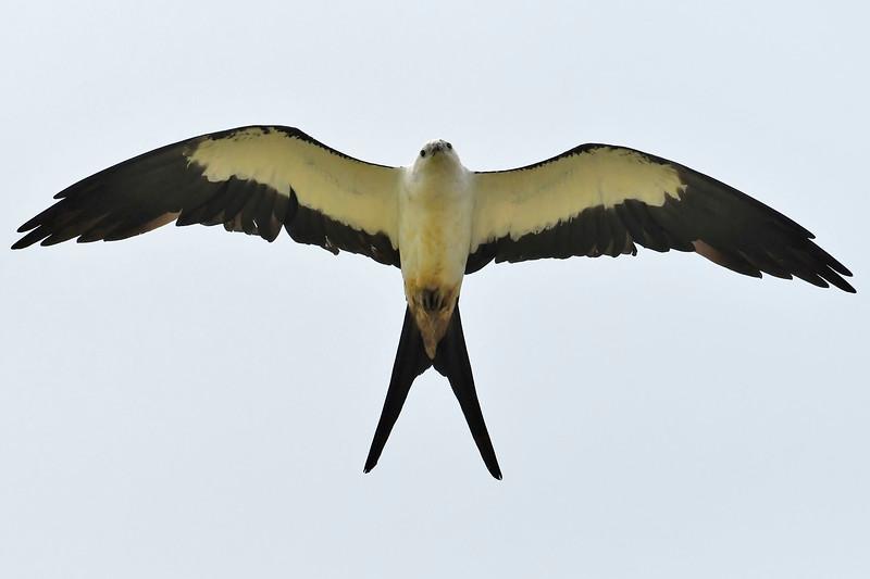 Swallow-tailedKites-Florida-7-24-18-SJS-005