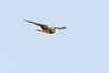 NorthernHarrier-LakeYale-11-8-20-sjs-02