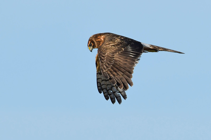 NorthernHarrier(female)-MerrittIslandNWR-12-6-19-SJS-020