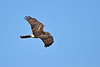 NorthernHarrier-LAWD-ApopkaFL-1-15-18-SJS-006