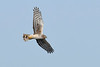 NorthernHarrier-LAWD-3-7-20-SJS-019
