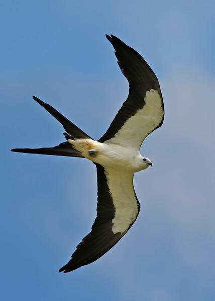 Swallow-tailedKites-Florida-7-24-18-SJS-009
