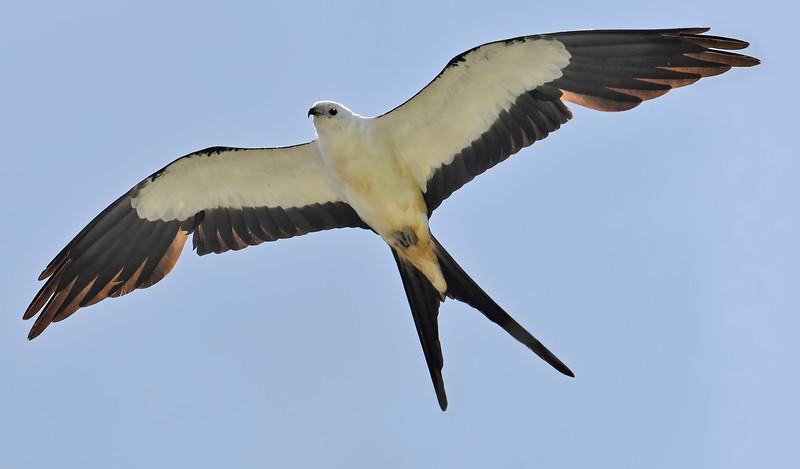 Swallow-TailedKite-LAWD-7-13-18-SJS-007