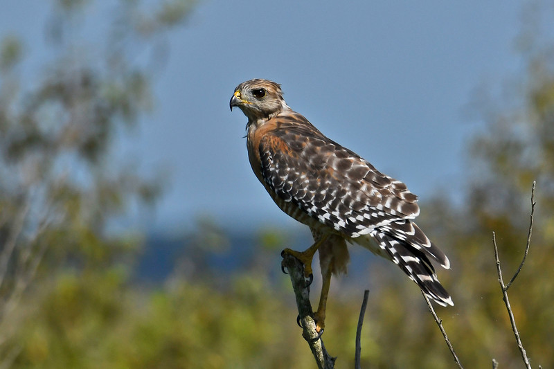 Red-shoulderedHawk-LAWD-8-4-18-SJS-012