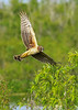 NorthernHarrier-EmeraldaMarsh-3-13-19-SJS-021