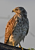 Red-ShoulderedHawk-LAWD-9-14-18-SJS-008