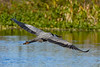 GreatBlueHeron-EmeraldaMarsh-1-28-20-SJS-001