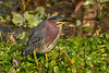 GreenHeron-EmeraldaMarsh-1-29-20-SJS-004