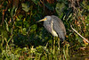 TriColoredHeron-EmeraldaMarsh-1-29-20-SJS-001