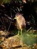 Black Crowned Night Heron (immature)