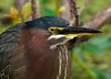 GreenHeron-2015-sjs-02
