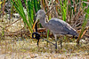 GreatBlueHeron-Watersnake-LAWD-11-25-16-SJS-001