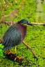 GreenHeron-2015-sjs-03
