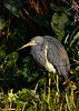 TriColoredHeron-EmeraldaMarsh-1-29-20-SJS-003