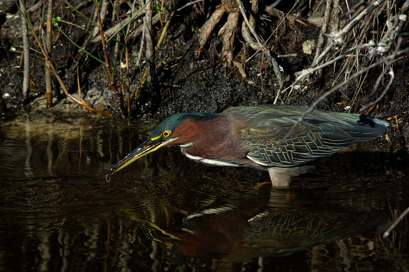GreenHeron-009